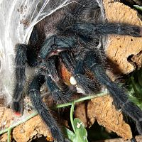 "A Mouthful (♀ Avicularia avicularia 5"") [1/2]"