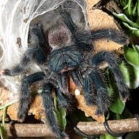 "A Mouthful (♀ Avicularia avicularia 5"") [2/2]"