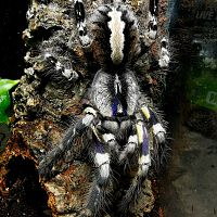 P regalis Adult Female