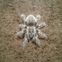 My lovely Grammostola Pulchripes