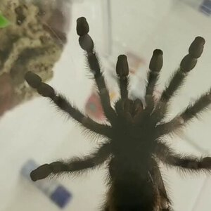Avicularia avicularia [ventral sexing] [1/4]