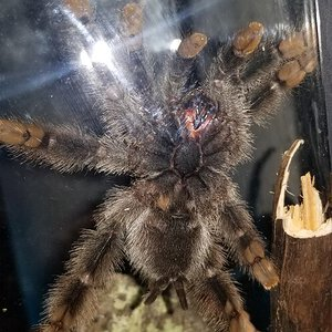 Avicularia avicularia [ventral sexing] [2/4]