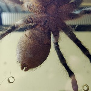 Aphonopelma seemanni [ventral sexing]