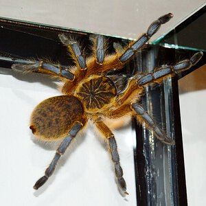 Harpactira pulchripes, young girl