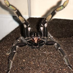 "One Angry T.... (6.75""-7.25"" Suspect Female Chilobrachys andersoni ""Dark Morph"")"