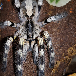 Poecilotheria regalis (Indian Ornamental)