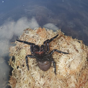 A. Robustus the Sydney funnel web