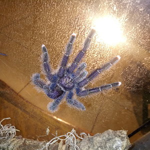 Freshly molted MM Avicularia ________?