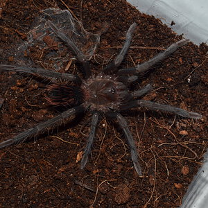 Xenesthis immanis juvenile 0,1 freshly molted.JPG