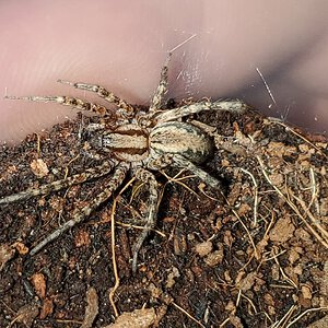 Unidentified house spider [1/2]