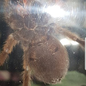 8cm Aphonopelma chalcodes [ventral sexing] [2/2]