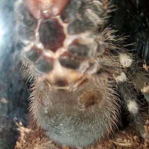 "4"" Acanthoscurria geniculata [ventral sexing]"