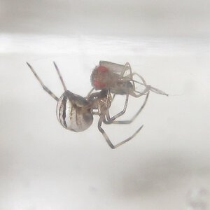 Baby Western Black Widow Spider