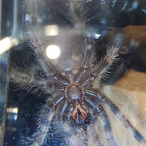 P. Regalis about 2""
