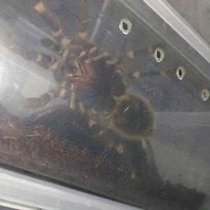 Acanthoscurria geniculata [ventral sexing] [2/4]