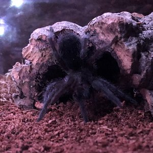 Grammostola Yoga pt.2 (it's a thing)