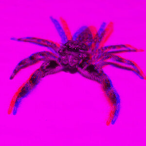 3D Jumping Spider Male