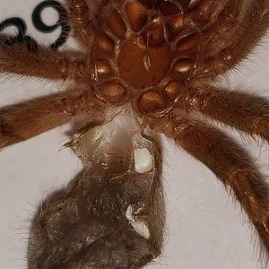 "1.5"" Grammostola pulchripes [molt sexing]"