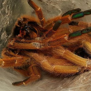 OBT in molting