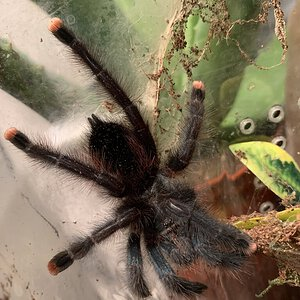 Avicularia avicularia [ventral sexing] [1/2]