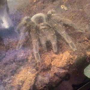 Sold as G. pulchra (Brazilian Black)? [2/2]