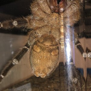 "3-4"" Aphonopelma seemanni [ventral sexing]"