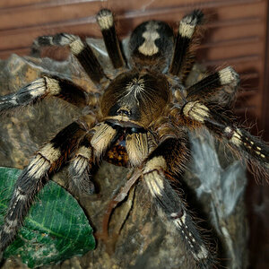 0.1 Poecilotheria subfusca (Lowland)