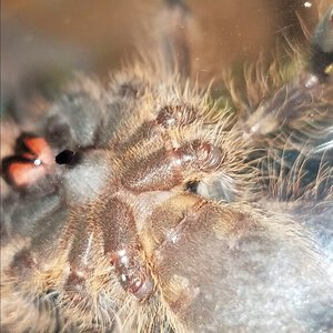 3 inch p subfusca ventral sexing