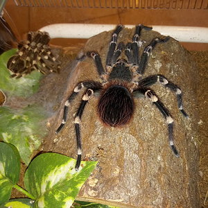 Freshly Molted A. geniculata