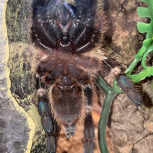 Poecilotheria smithi [ventral sexing] [2/2]