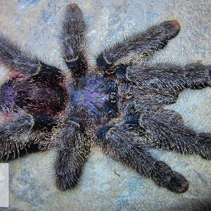 Avicularia sp. (Unknown)