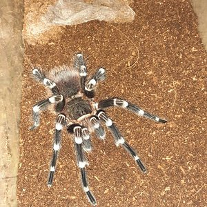 Freshly Molted Male A.Geniculata