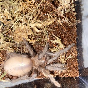 Sold as Grammostola pulchripes