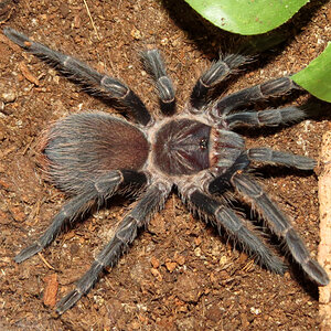 "Ni (Phormictopus sp. ""south Hispaniola"" 3""+)"