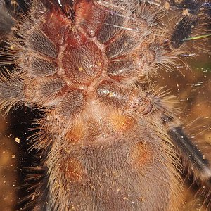 "2.25"" Grammostola pulchripes [ventral sexing]"
