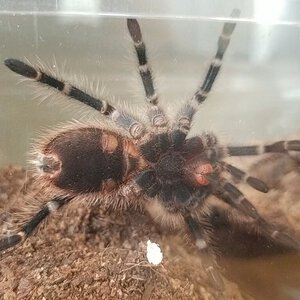 2.5 - 3in G. Pulchripes, male or female?