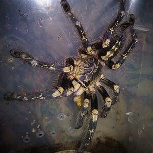 Poecilotheria subfusca HL