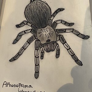 Aphonopelma johnnycashi belonging to AZ Tom