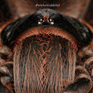 Acanthoscurria paulensis.