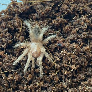 Acanthoscurria geniculata sling