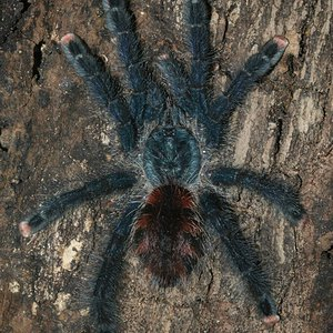 Sold to me as A. metallica, is that A. avicularia morphotype #6?