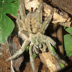 "Squirt (♀ Psalmopoeus cambridgei 6"")"