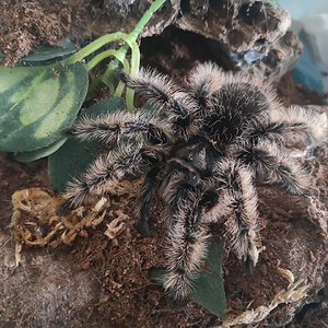 T.albopilosus female