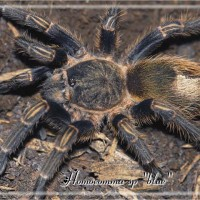 "Homoeomma sp ""blue"""