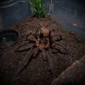 MM Acanthoscurria chacoana