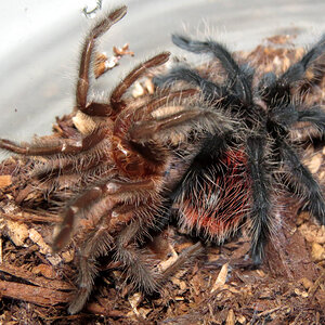 "Freshly Molted Grammostola actaeon (>2"")"