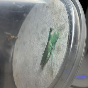 Odontomantis female