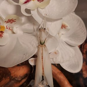Hymenopus coronatus, freshly molted female