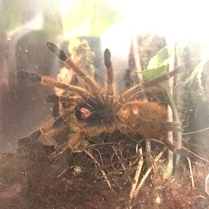 My lovely OBT (p.murinus)