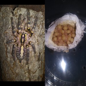 Poecilotheria ornata breeding